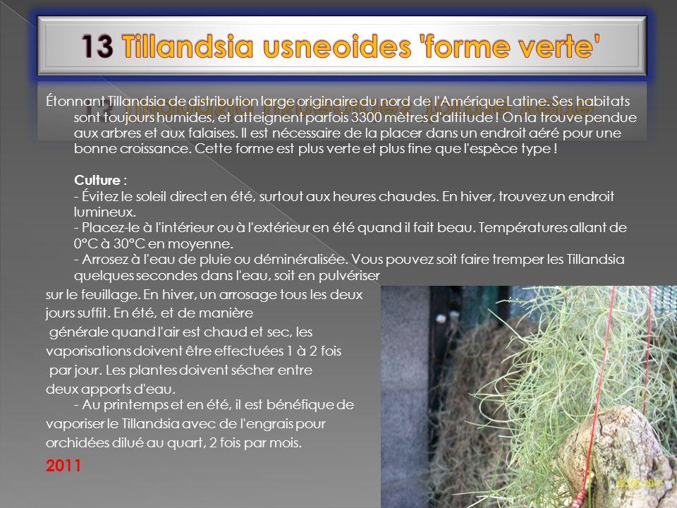 13 Tillandsia usneoides forme verte