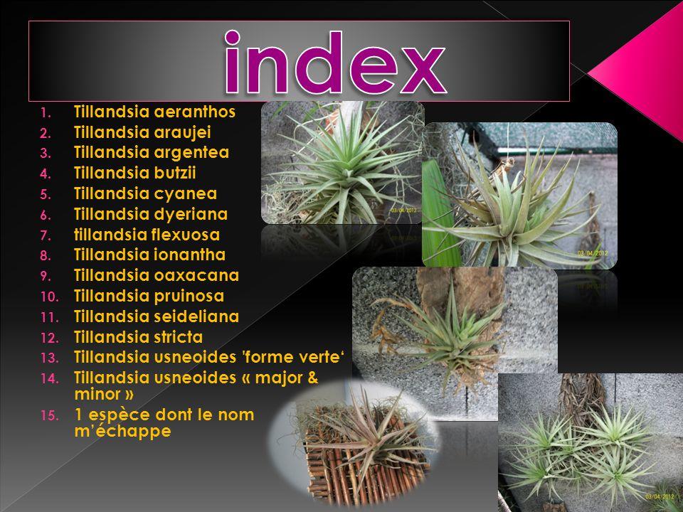 index Tillandsia aeranthos Tillandsia araujei Tillandsia argentea
