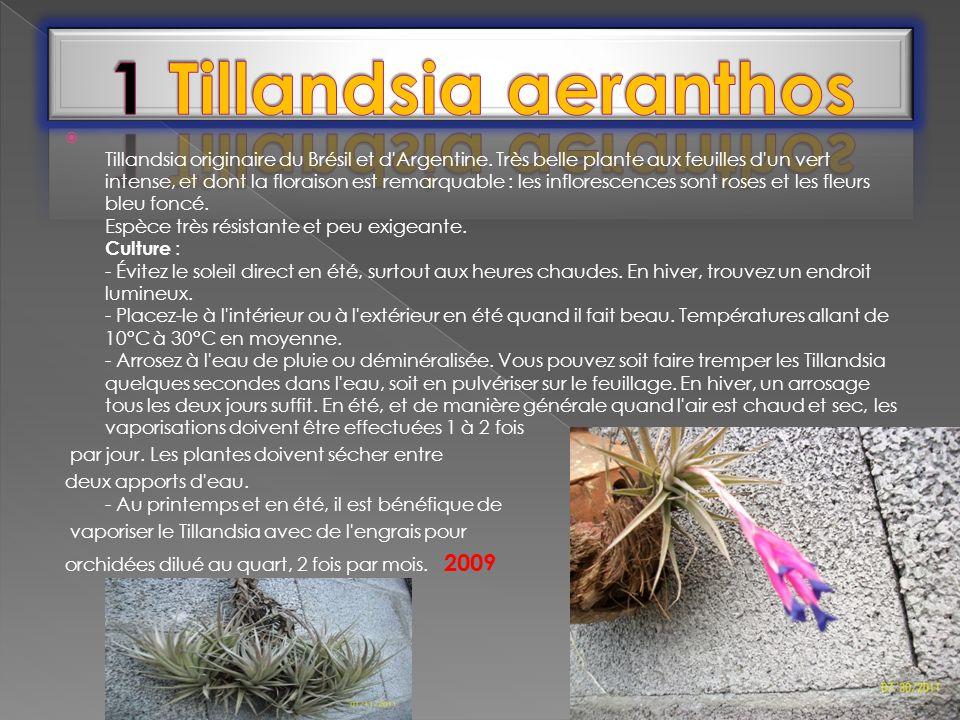 1 Tillandsia aeranthos