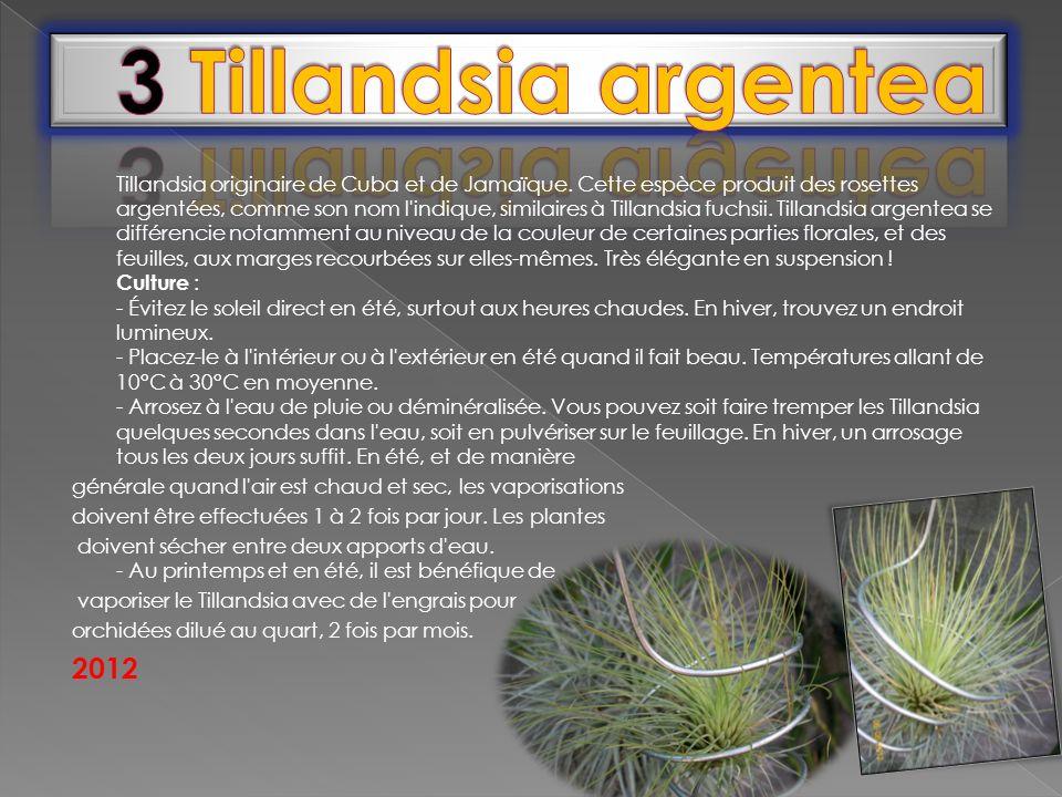 3 Tillandsia argentea