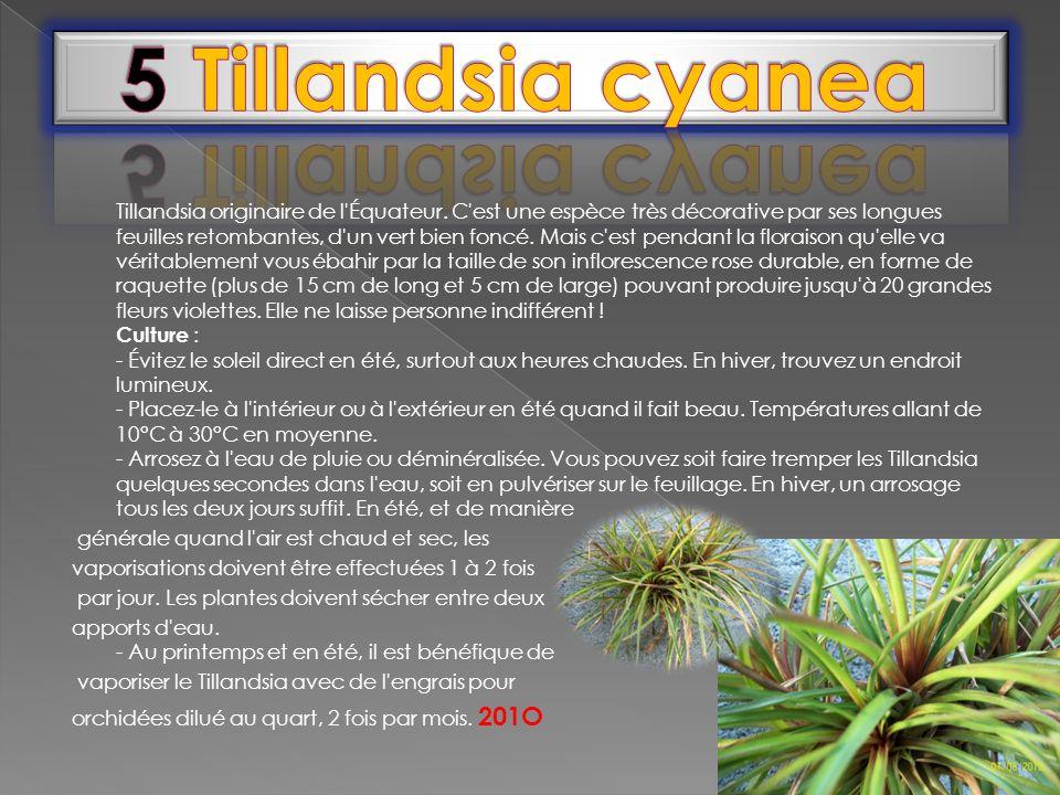5 Tillandsia cyanea