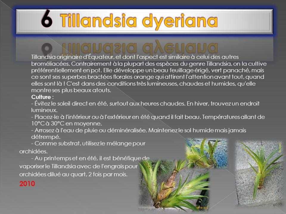6 Tillandsia dyeriana