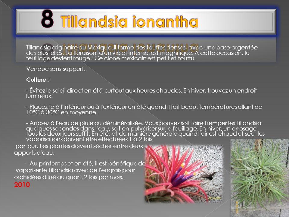 8 Tillandsia ionantha