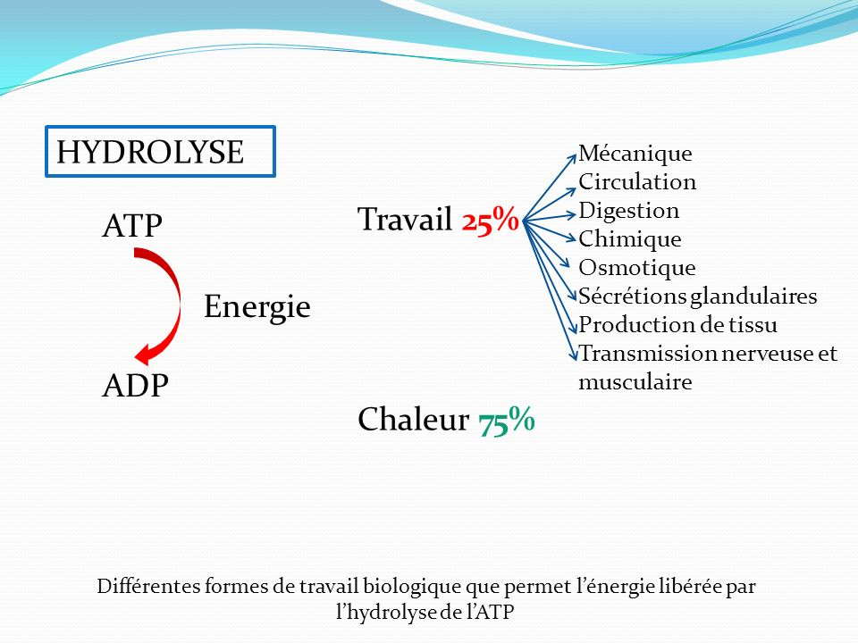 HYDROLYSE Travail 25% Chaleur 75% ATP ADP Energie Mécanique