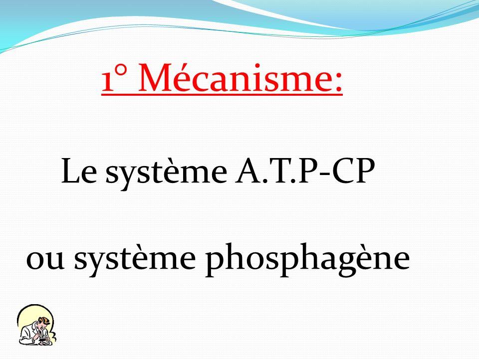 ou système phosphagène