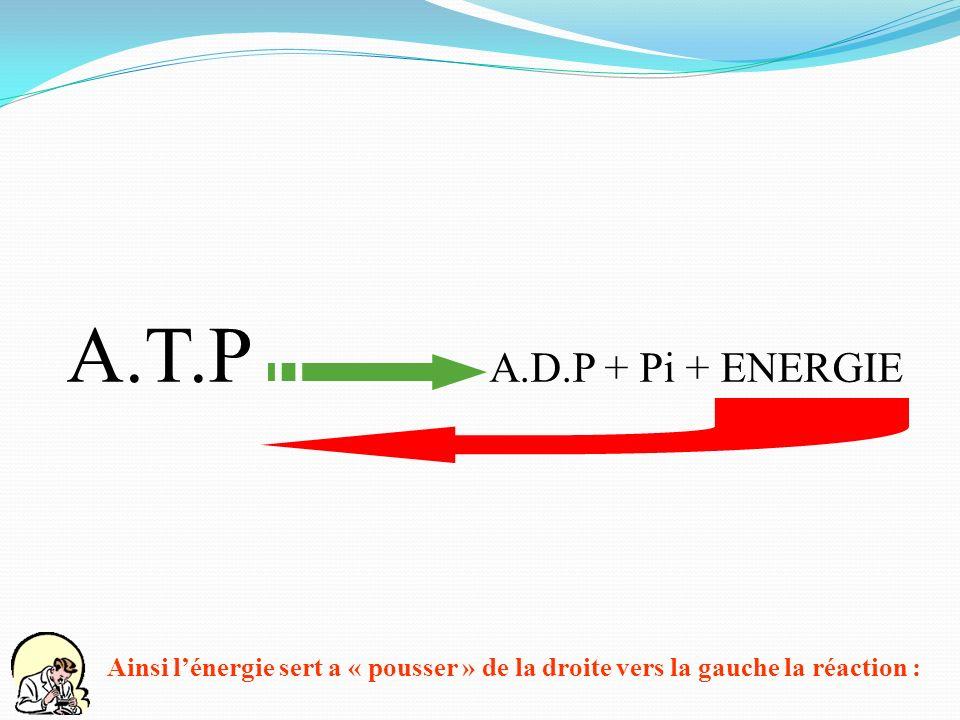 A.T.P A.D.P + Pi + ENERGIE Ainsi l'énergie sert a « pousser » de la droite vers la gauche la réaction :