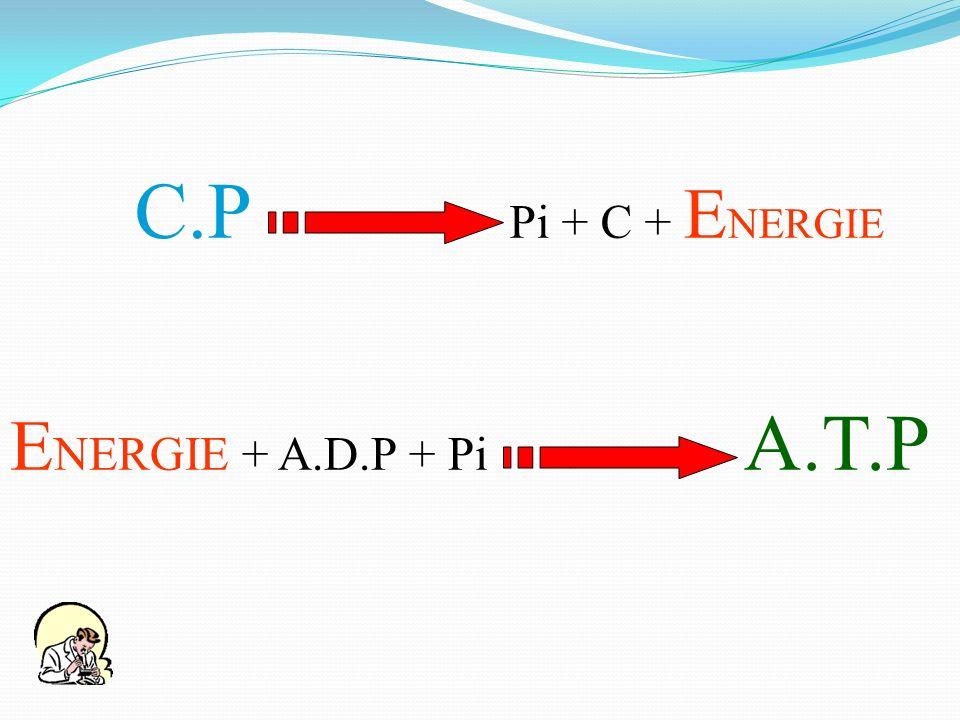 C.P Pi + C + ENERGIE ENERGIE + A.D.P + Pi A.T.P.