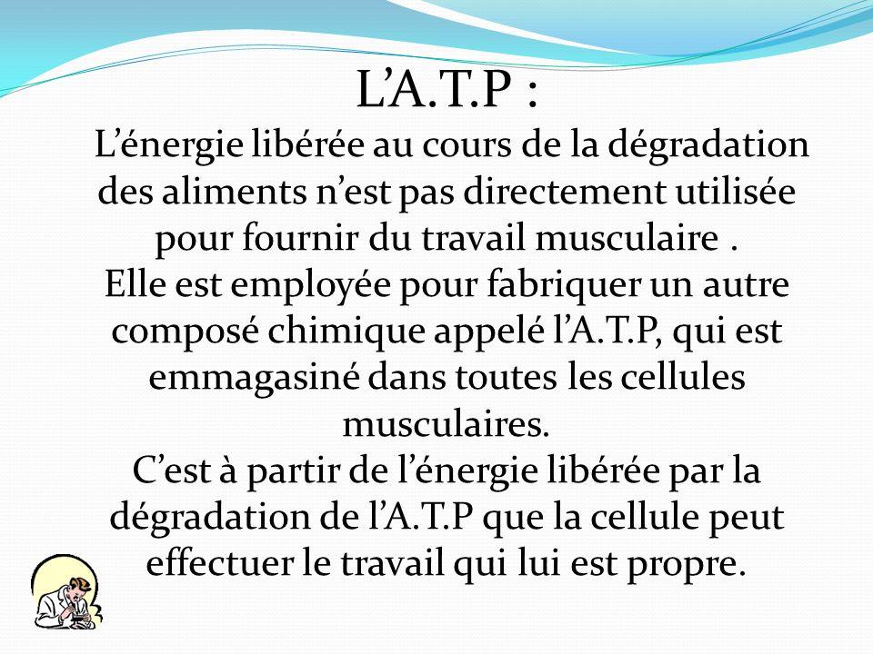 L'A.T.P : L'énergie libérée au cours de la dégradation des aliments n'est pas directement utilisée pour fournir du travail musculaire .