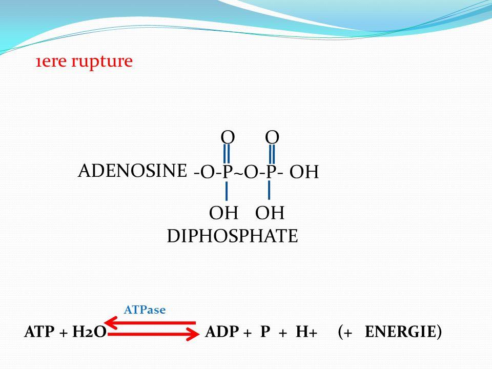 1ere rupture O O ADENOSINE -O-P~O-P- OH OH OH DIPHOSPHATE