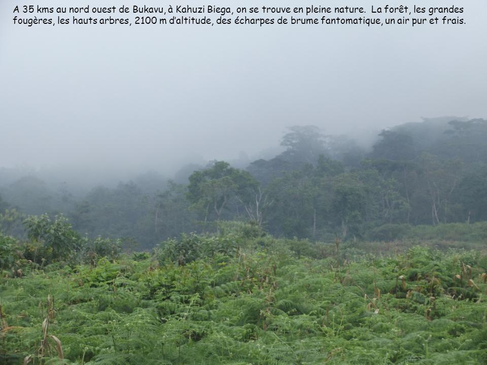 A 35 kms au nord ouest de Bukavu, à Kahuzi Biega, on se trouve en pleine nature.
