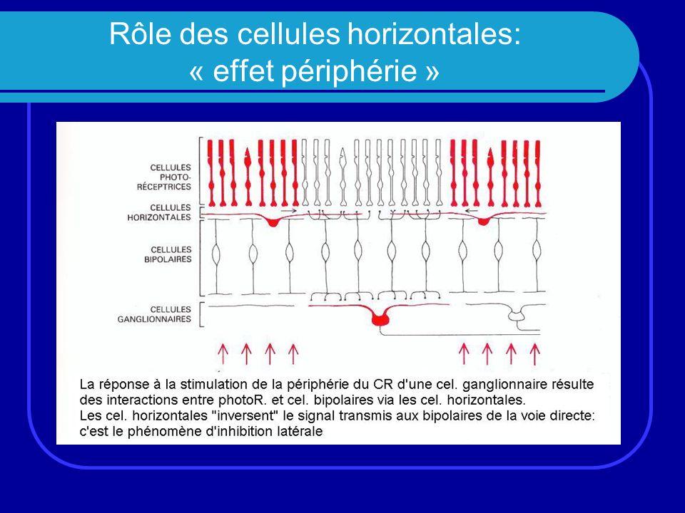 Rôle des cellules horizontales: « effet périphérie »