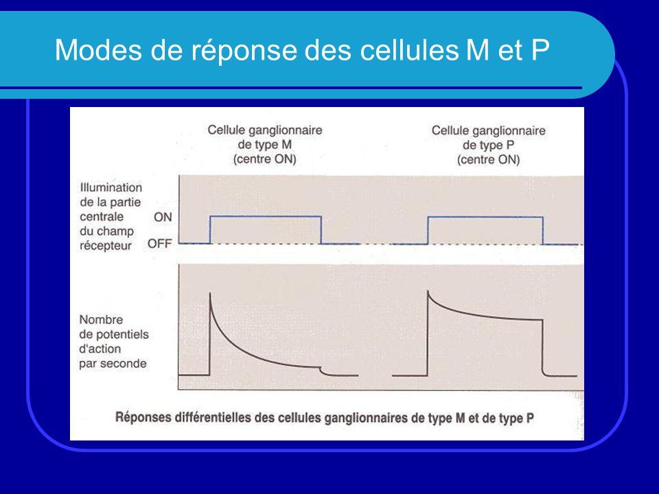 Modes de réponse des cellules M et P