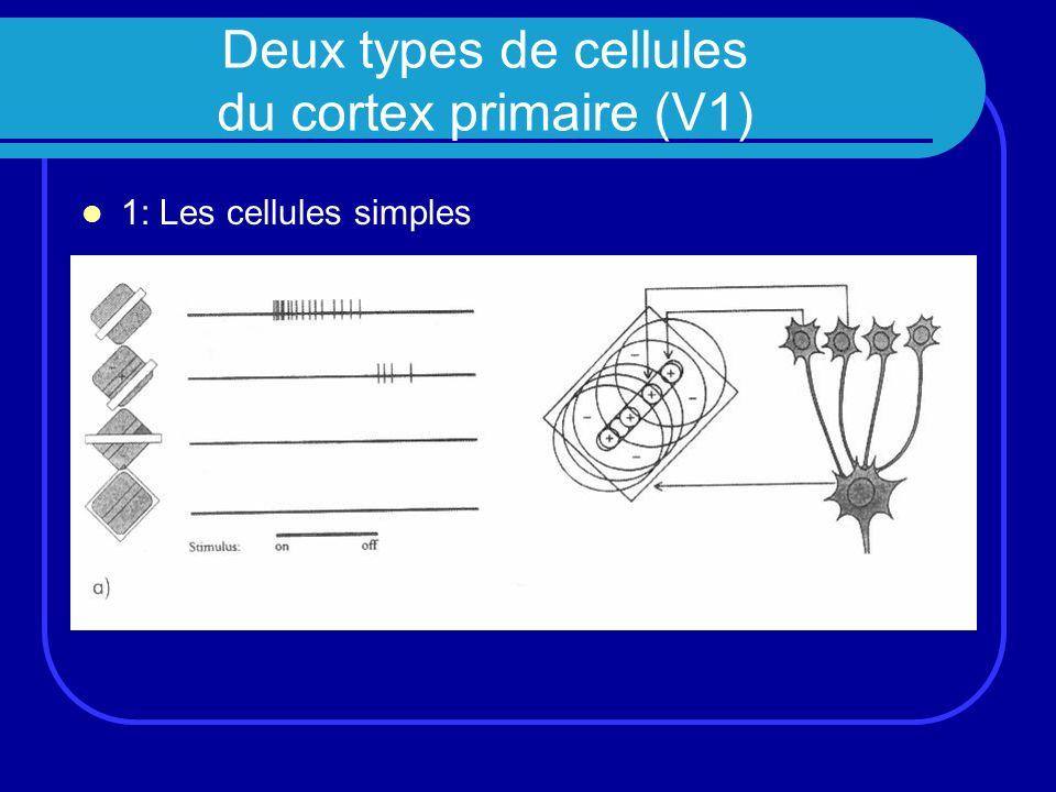 Deux types de cellules du cortex primaire (V1)