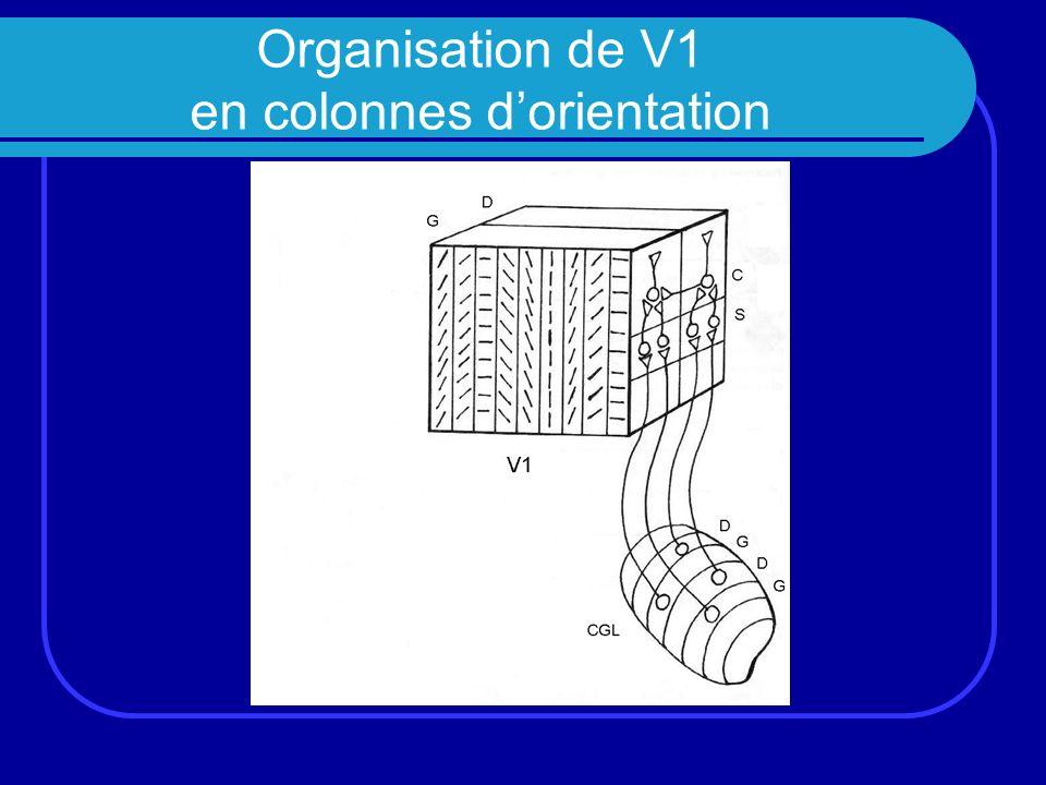 Organisation de V1 en colonnes d'orientation
