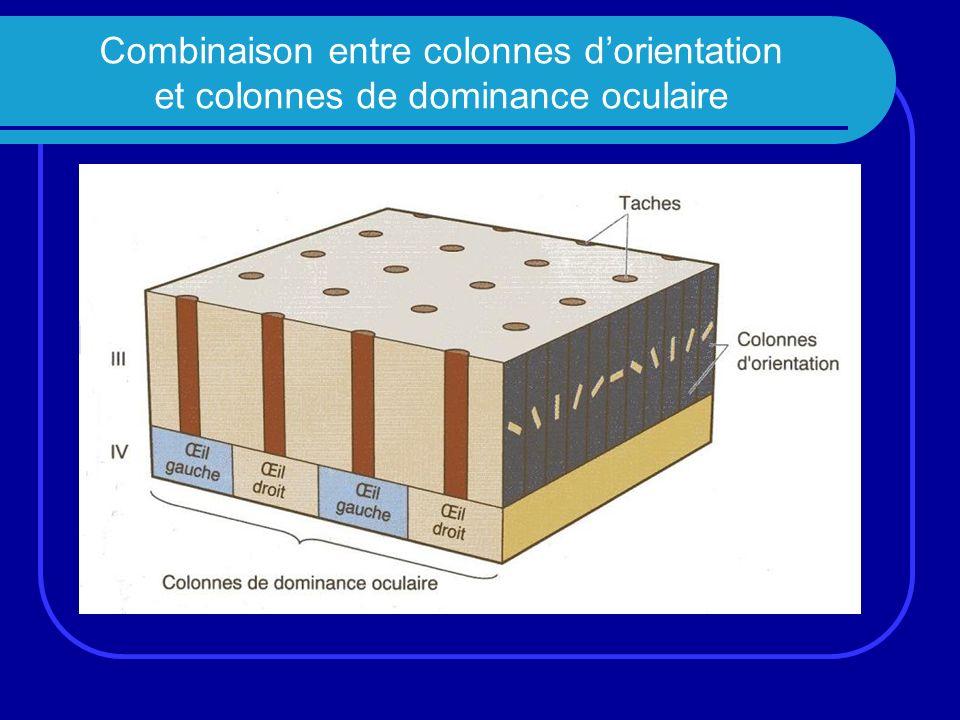 Combinaison entre colonnes d'orientation et colonnes de dominance oculaire