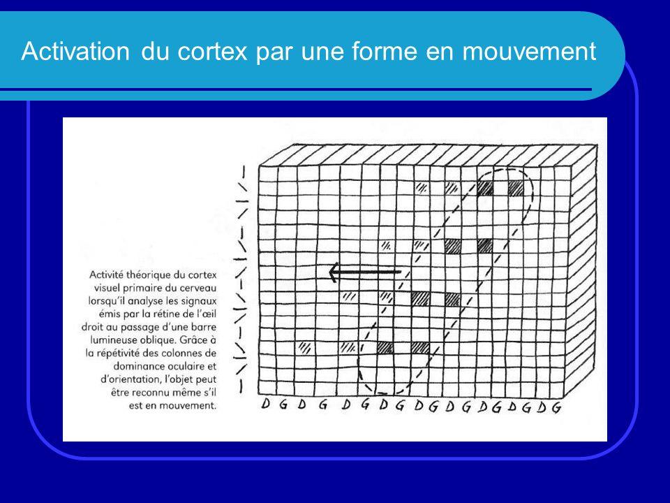 Activation du cortex par une forme en mouvement