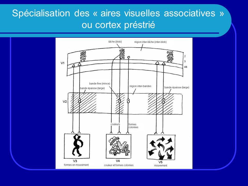 Spécialisation des « aires visuelles associatives » ou cortex préstrié