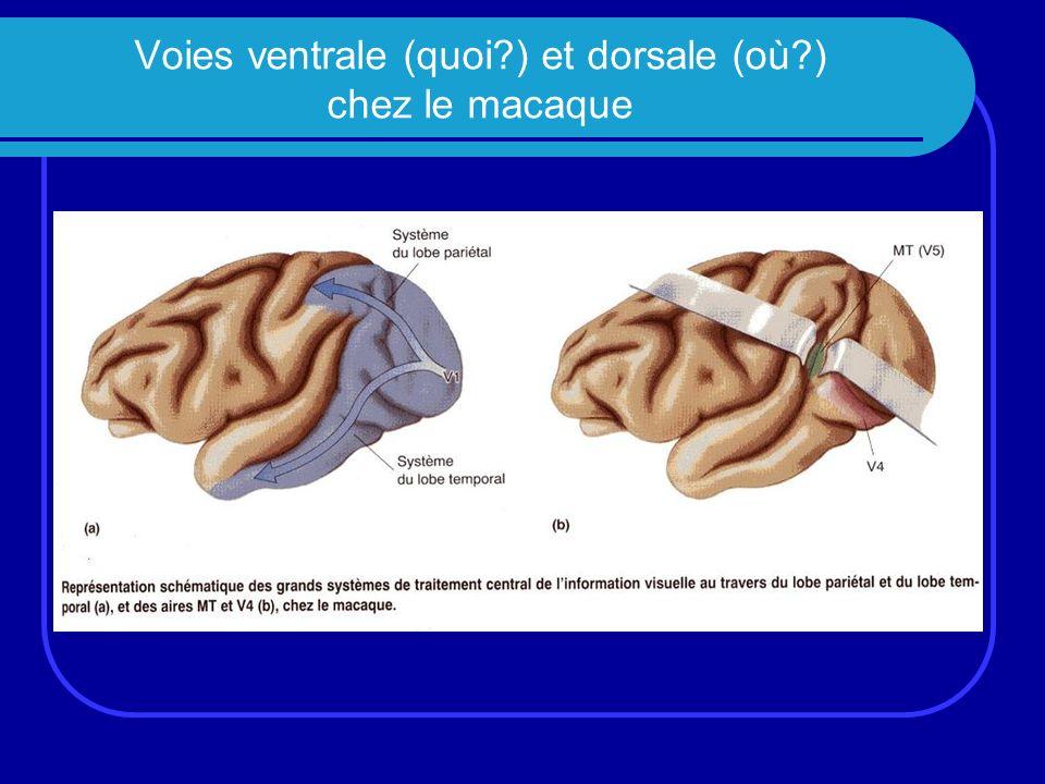 Voies ventrale (quoi ) et dorsale (où ) chez le macaque