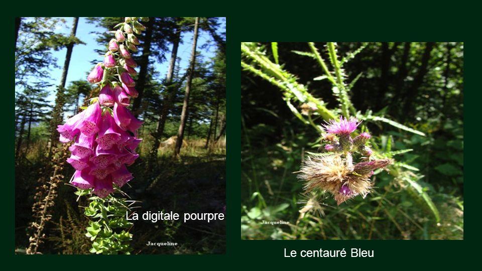 La digitale pourpre Le centauré Bleu