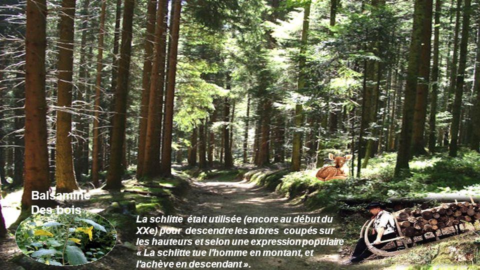 Balsamine Des bois.