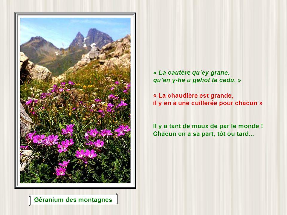 Géranium des montagnes