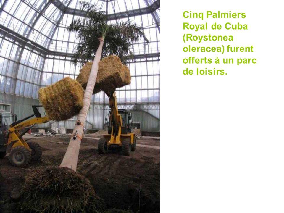 Cinq Palmiers Royal de Cuba (Roystonea oleracea) furent offerts à un parc de loisirs.