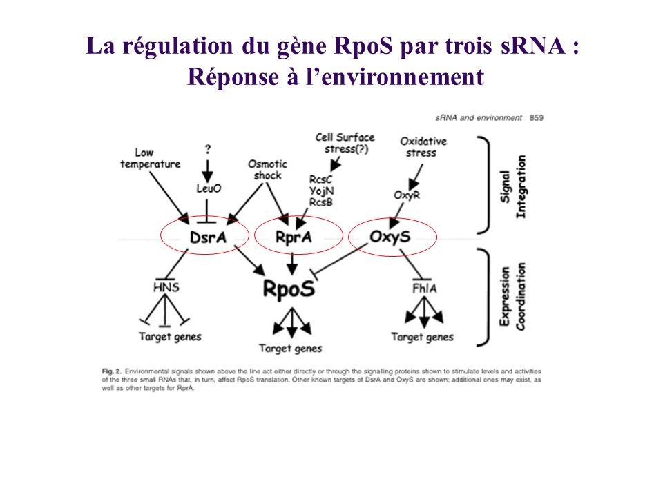 La régulation du gène RpoS par trois sRNA : Réponse à l'environnement