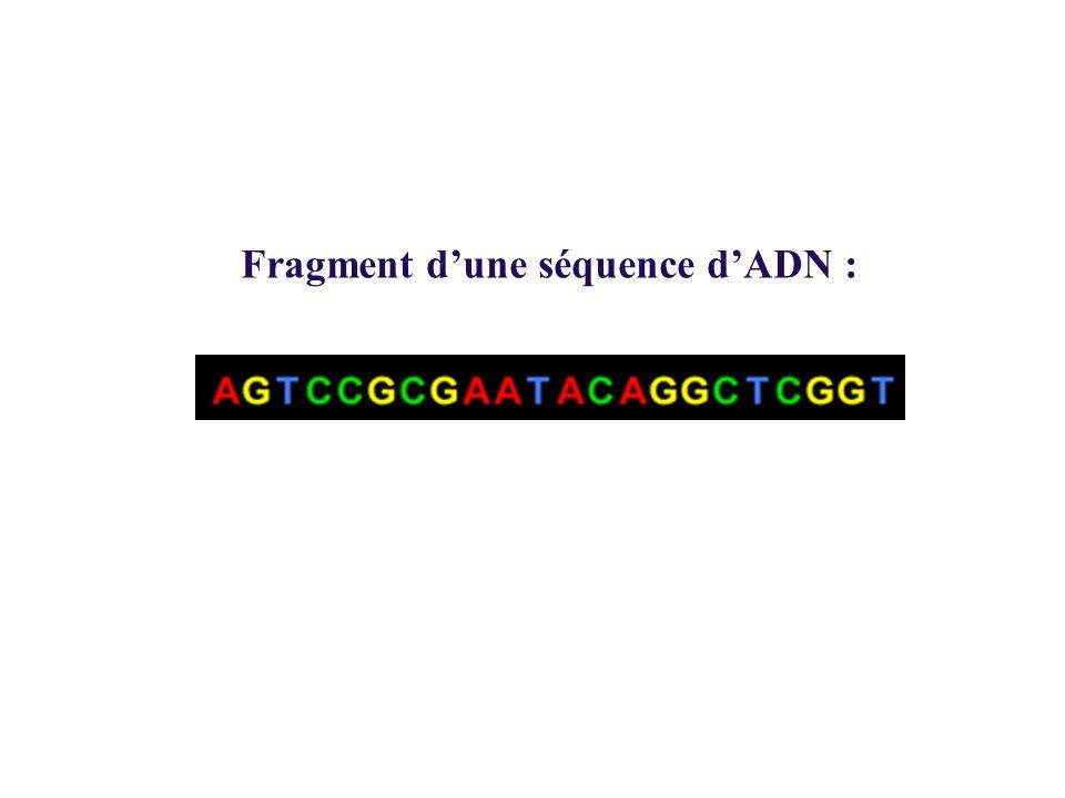 Fragment d'une séquence d'ADN :