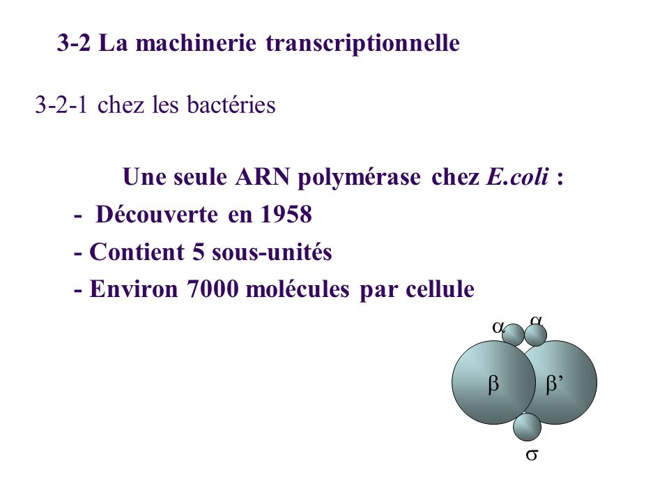 Une seule ARN polymérase chez E.coli :