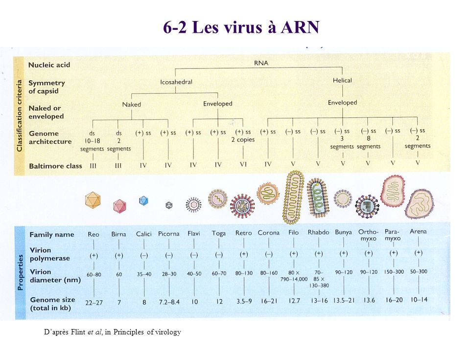 6-2 Les virus à ARN D'après Flint et al, in Principles of virology