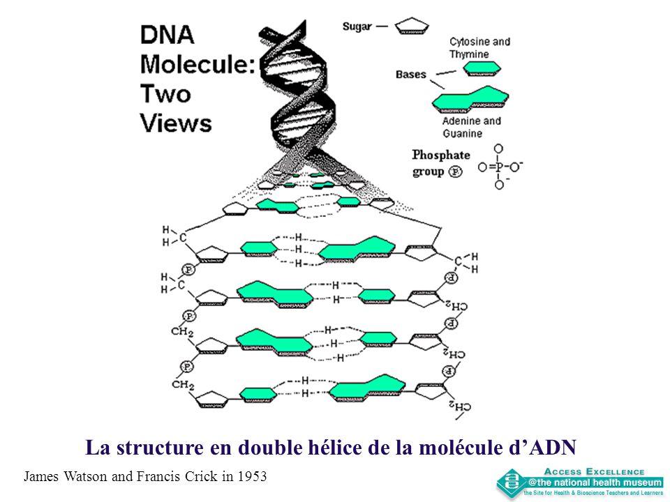La structure en double hélice de la molécule d'ADN