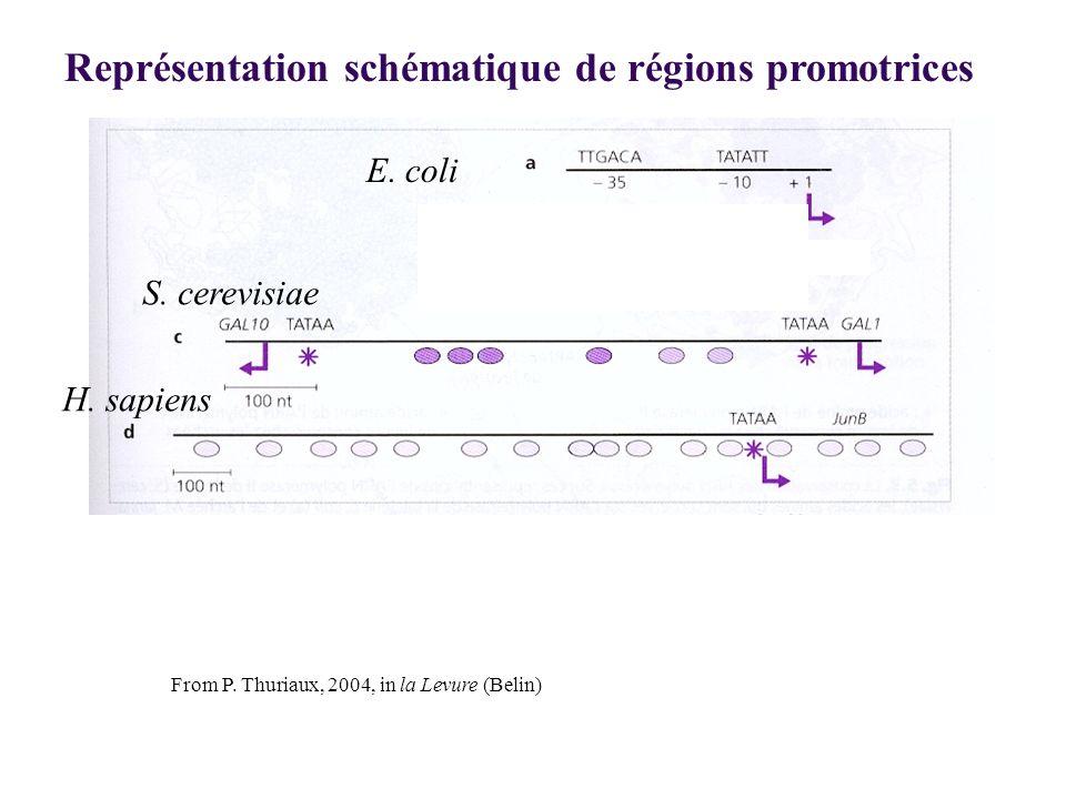 Représentation schématique de régions promotrices
