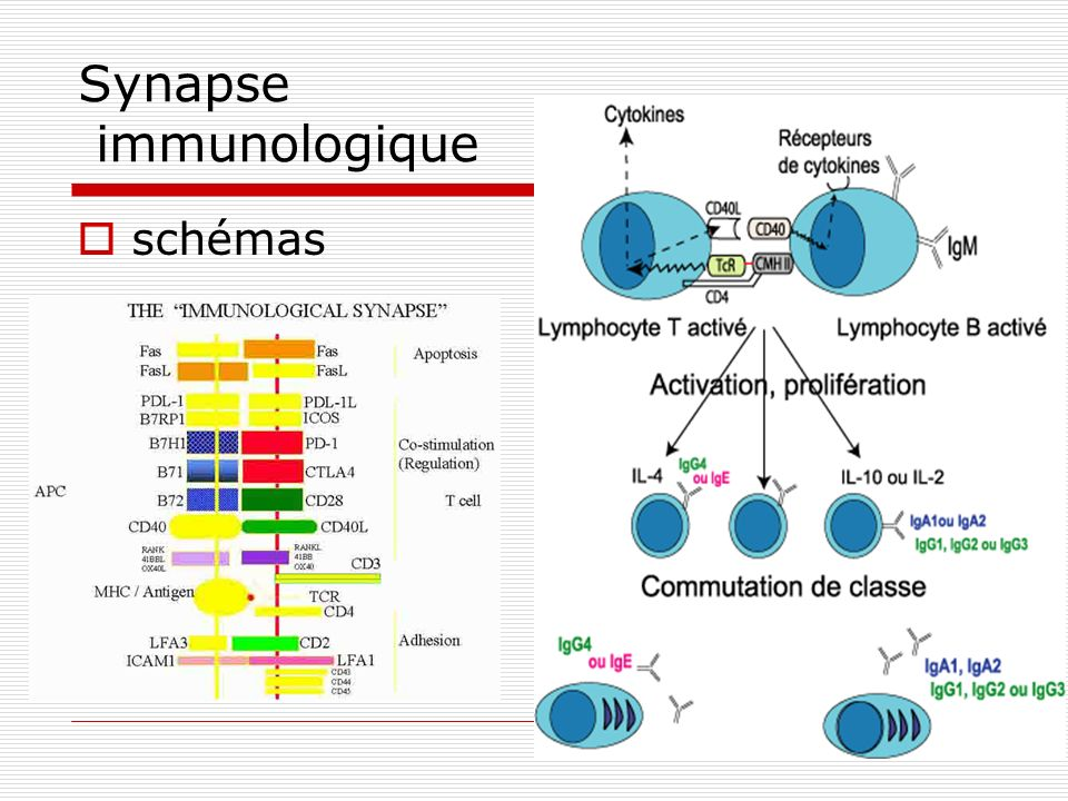 Synapse immunologique