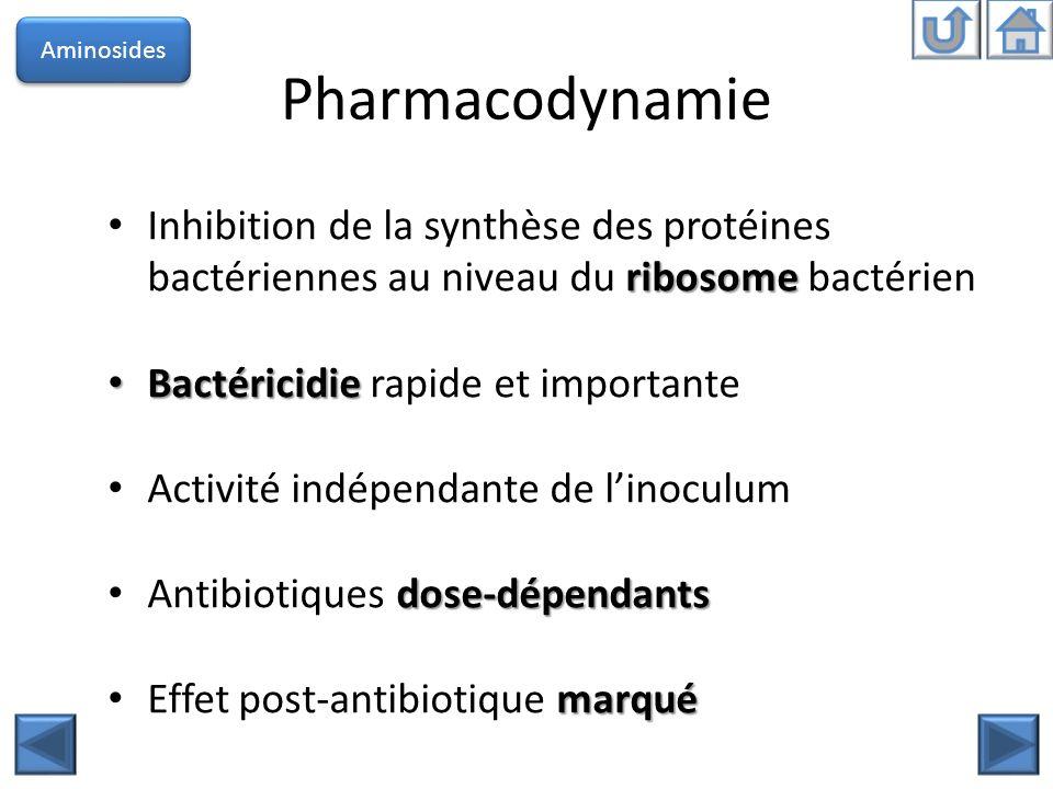 Aminosides Pharmacodynamie. Inhibition de la synthèse des protéines bactériennes au niveau du ribosome bactérien.