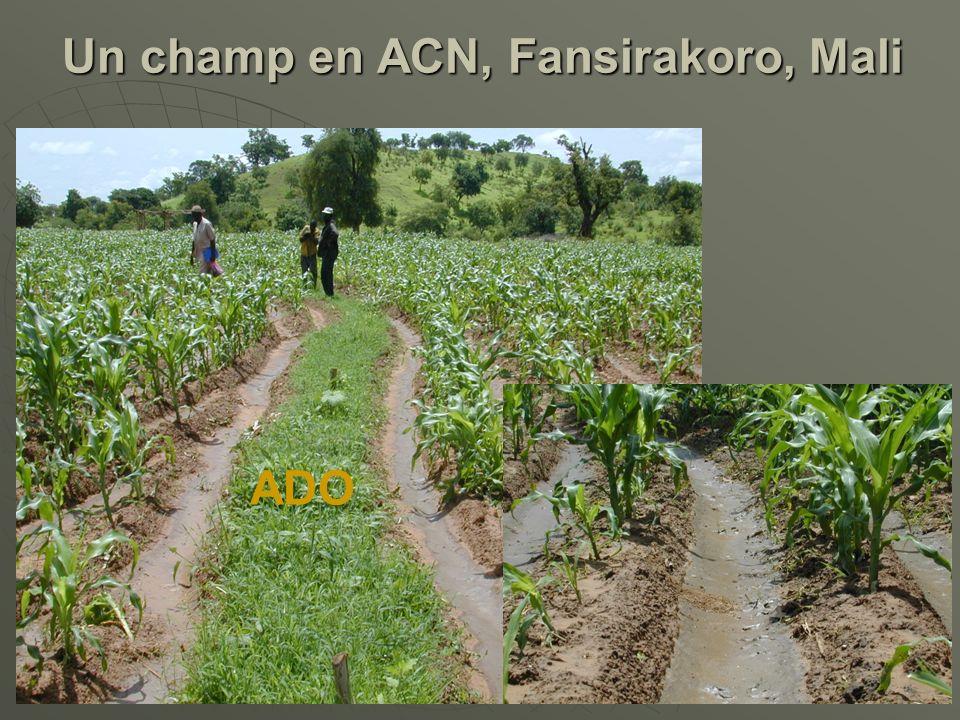 Un champ en ACN, Fansirakoro, Mali