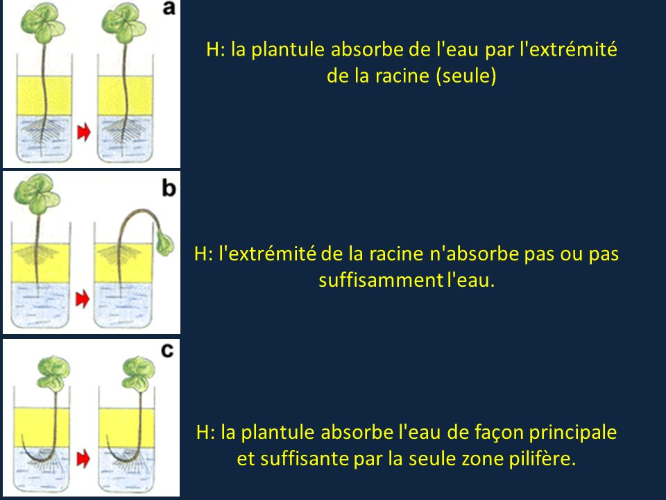 H: la plantule absorbe de l eau par l extrémité de la racine (seule)