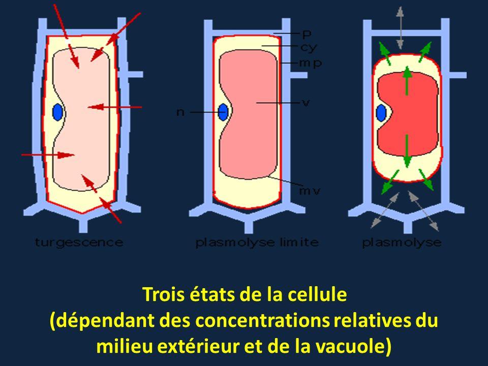 Trois états de la cellule (dépendant des concentrations relatives du milieu extérieur et de la vacuole)