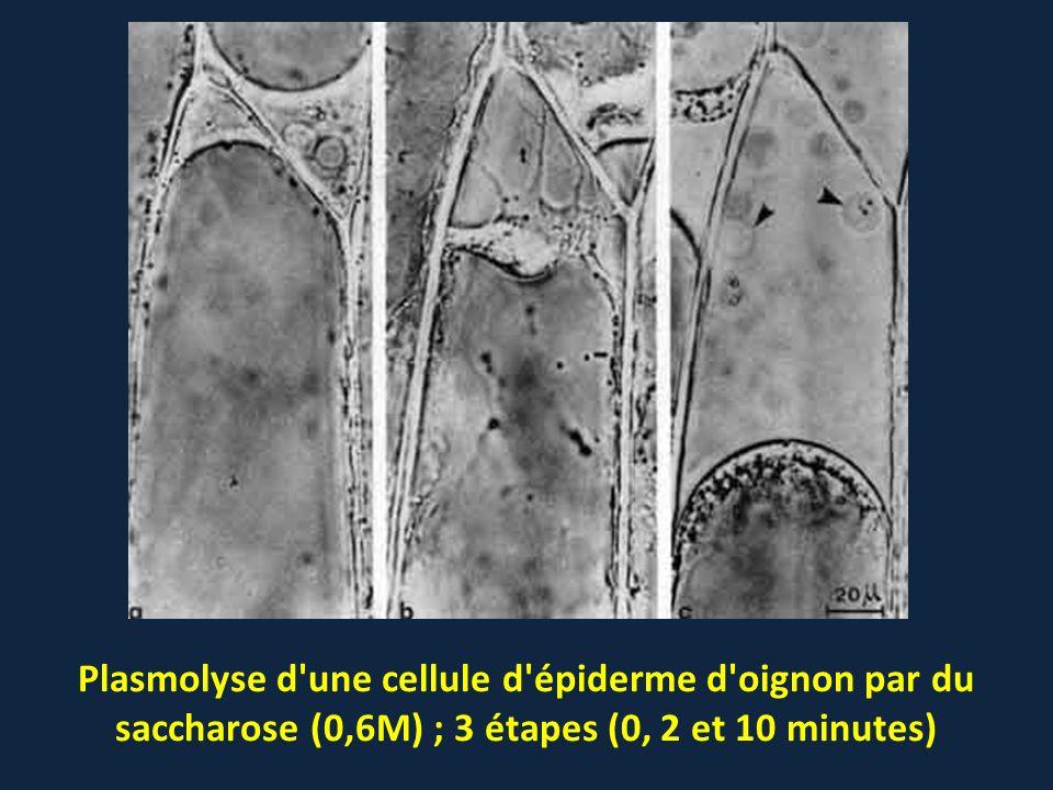 Plasmolyse d une cellule d épiderme d oignon par du saccharose (0,6M) ; 3 étapes (0, 2 et 10 minutes)