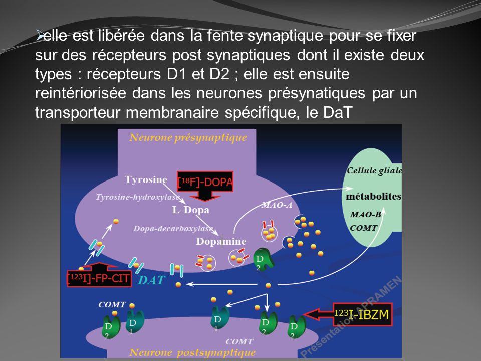 elle est libérée dans la fente synaptique pour se fixer sur des récepteurs post synaptiques dont il existe deux types : récepteurs D1 et D2 ; elle est ensuite reintériorisée dans les neurones présynatiques par un transporteur membranaire spécifique, le DaT