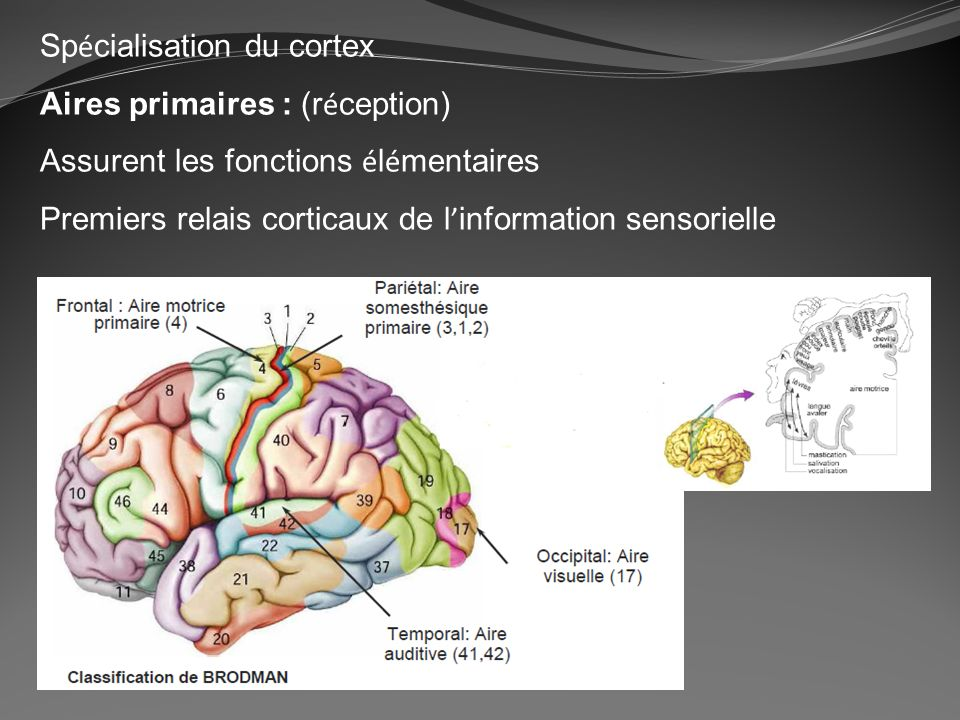 Spécialisation du cortex
