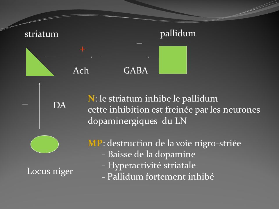 _ + _ striatum pallidum Ach GABA N: le striatum inhibe le pallidum