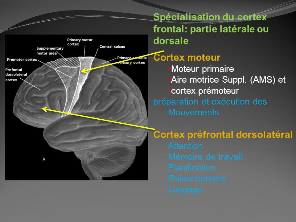 Spécialisation du cortex frontal: partie latérale ou dorsale