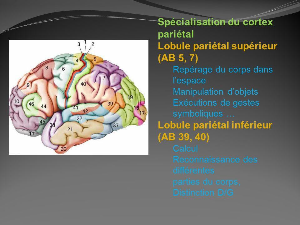 Spécialisation du cortex pariétal Lobule pariétal supérieur (AB 5, 7)