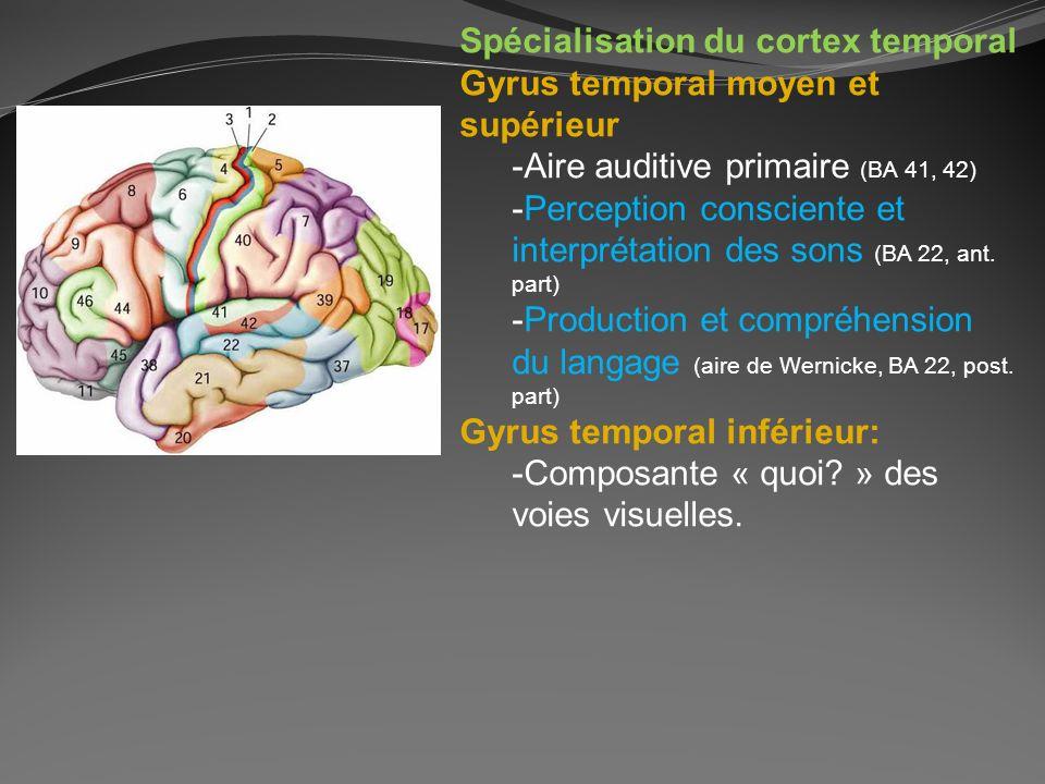 Spécialisation du cortex temporal