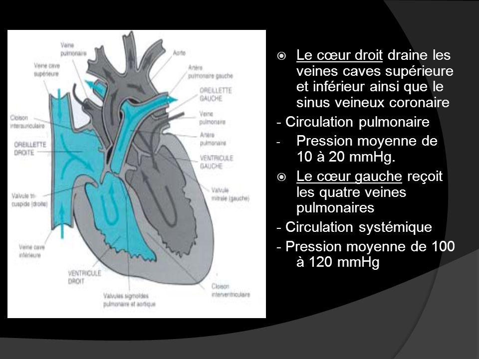 Le cœur droit draine les veines caves supérieure et inférieur ainsi que le sinus veineux coronaire