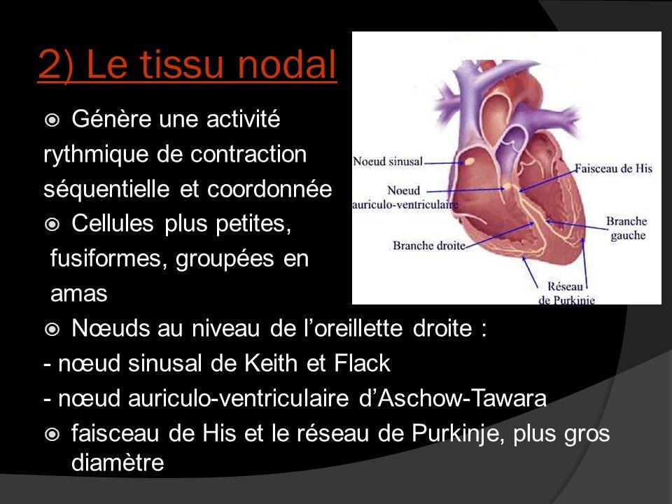 2) Le tissu nodal Génère une activité rythmique de contraction
