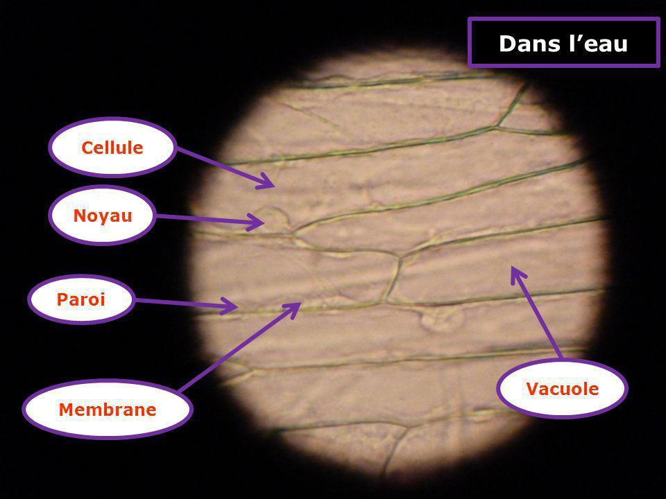 Dans l'eau Cellule Noyau Paroi Vacuole Membrane