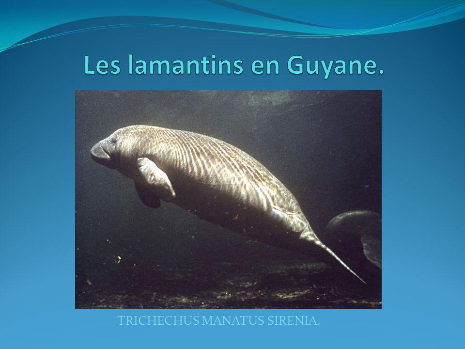 Les lamantins en Guyane.