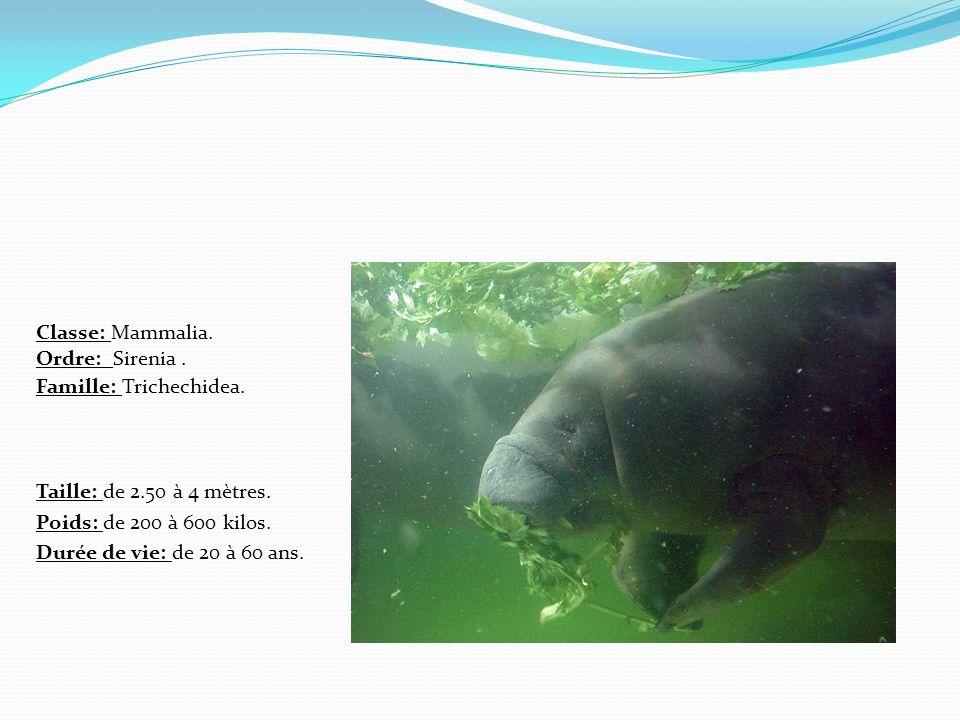 Classe: Mammalia. Ordre: Sirenia . Famille: Trichechidea.