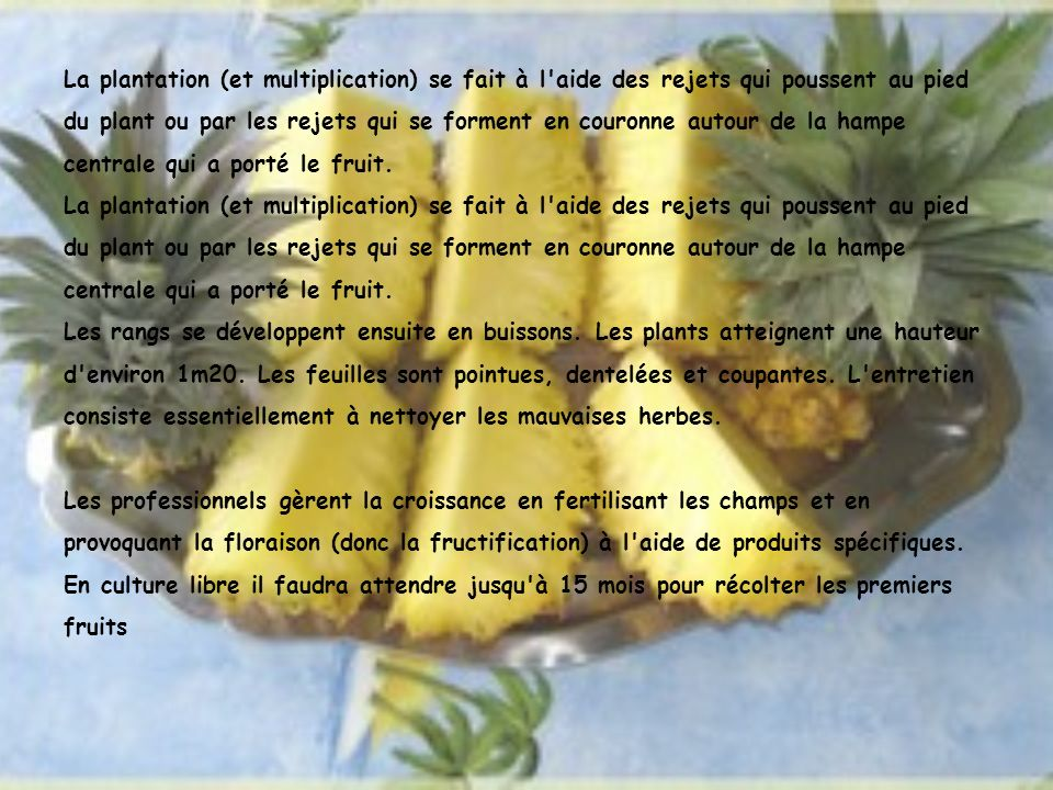 La plantation (et multiplication) se fait à l aide des rejets qui poussent au pied du plant ou par les rejets qui se forment en couronne autour de la hampe centrale qui a porté le fruit.